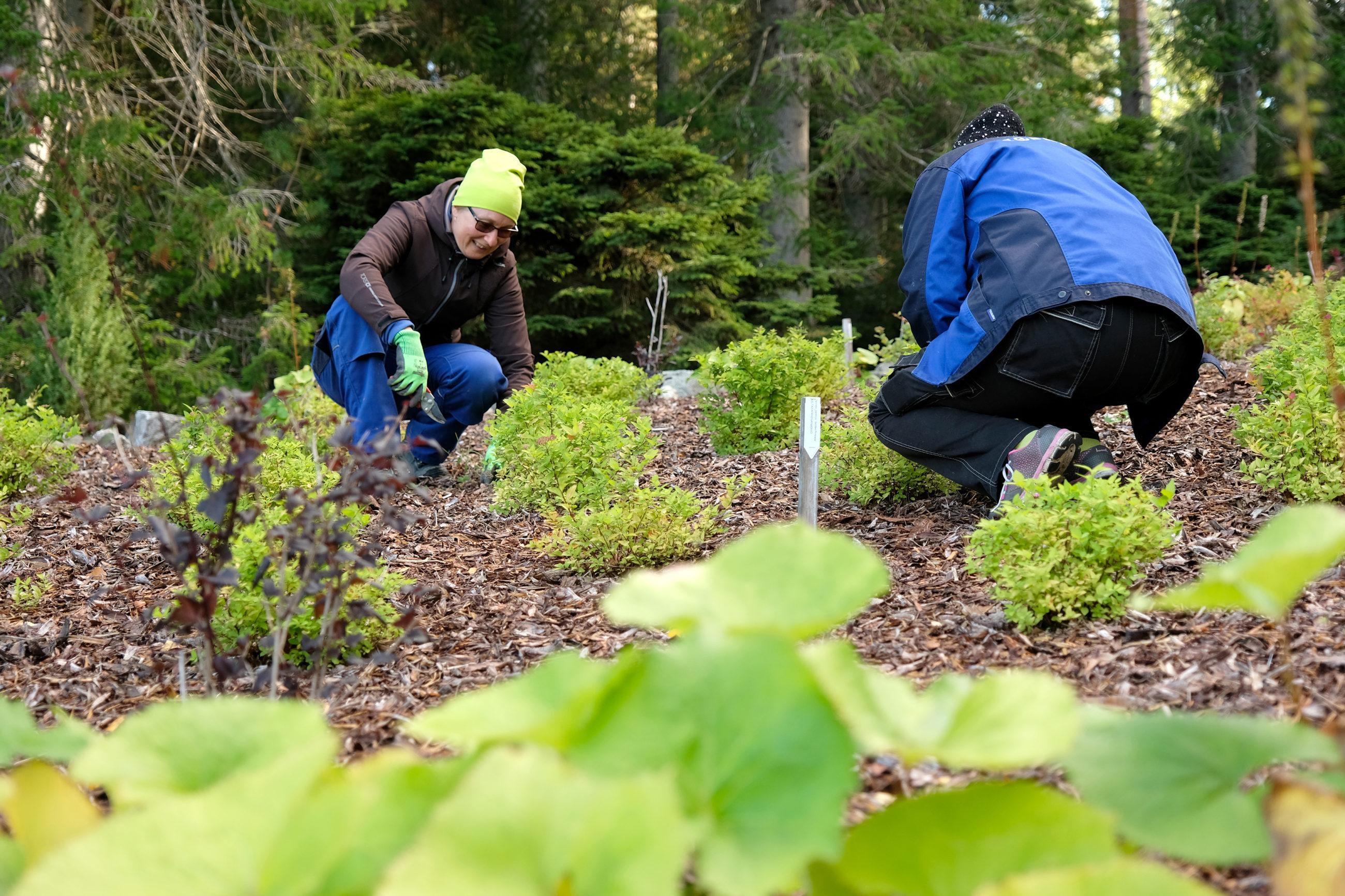 Kaksi henkilöä hoitaa matalia pensaita, henkilöt ovat kyykistyneinä pensaiden viereen.