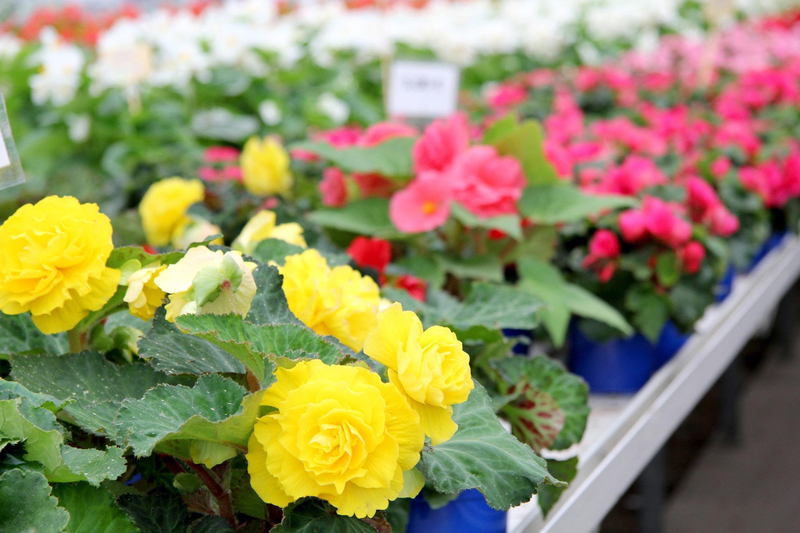 Etualalla keltaisia kukkia lähikuvassa, taustalla pinkkejä ja valkoisia kukkia.
