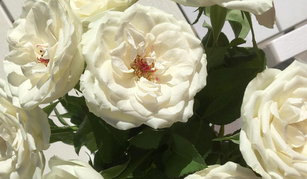 Valkoisia ruusuja.