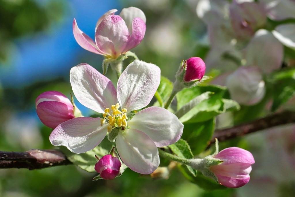 Lähikuva omenapuun kukasta, taustalla sinistä taivasta.